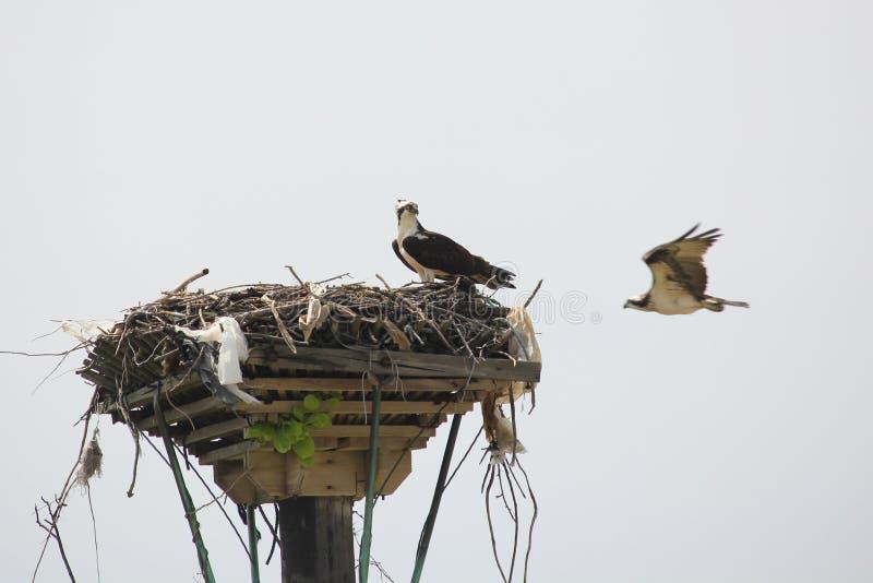 Due falco pescatore - un nido del nido fotografie stock