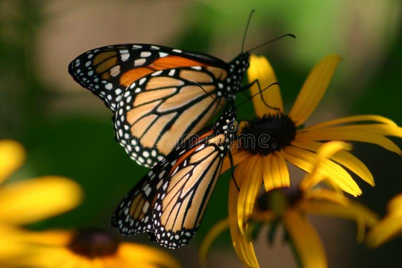 Due farfalle fotografia stock
