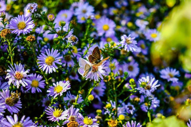 Due farfalle immagine stock