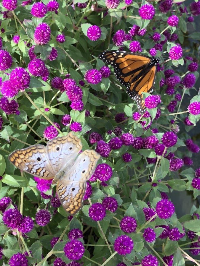 Due farfalle appollaiate sui bei fiori porpora fotografie stock libere da diritti