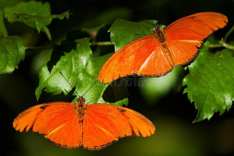Due farfalle arancio nella casa della farfalla immagini stock