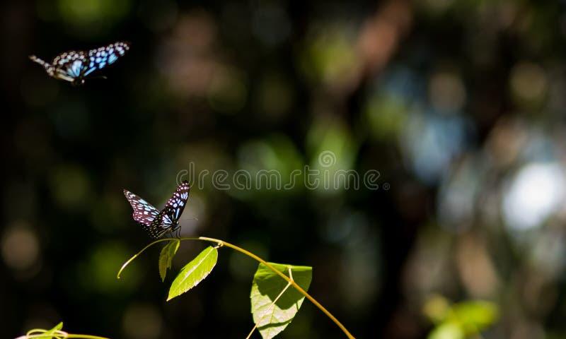 Due farfalle blu della tigre che ballano in un sole Ray immagine stock libera da diritti
