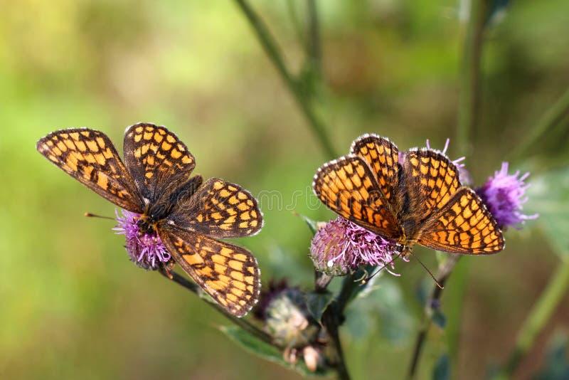 Due farfalle del Fritillary della brughiera fotografia stock