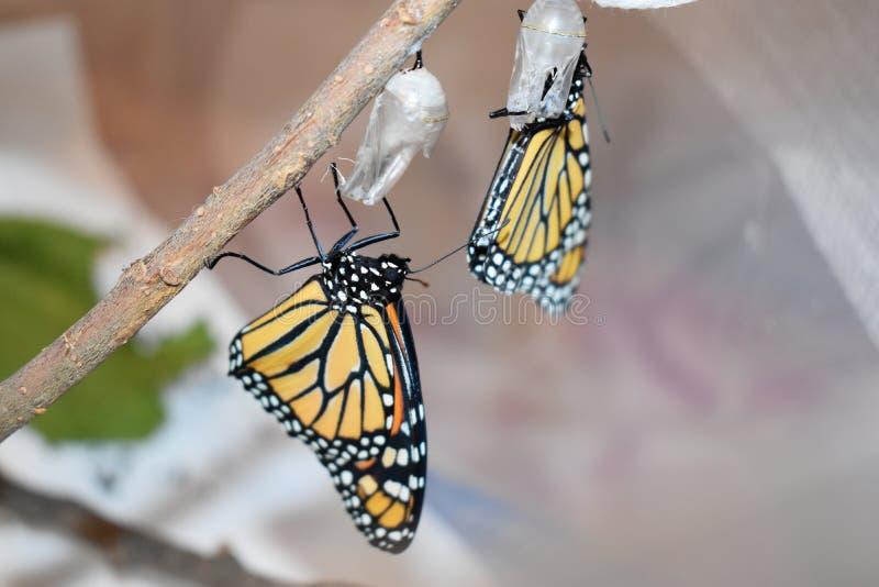 Due farfalle di monarca recentemente covate immagini stock libere da diritti
