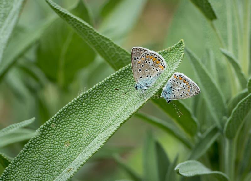 Due farfalle mussola-alate fotografie stock libere da diritti