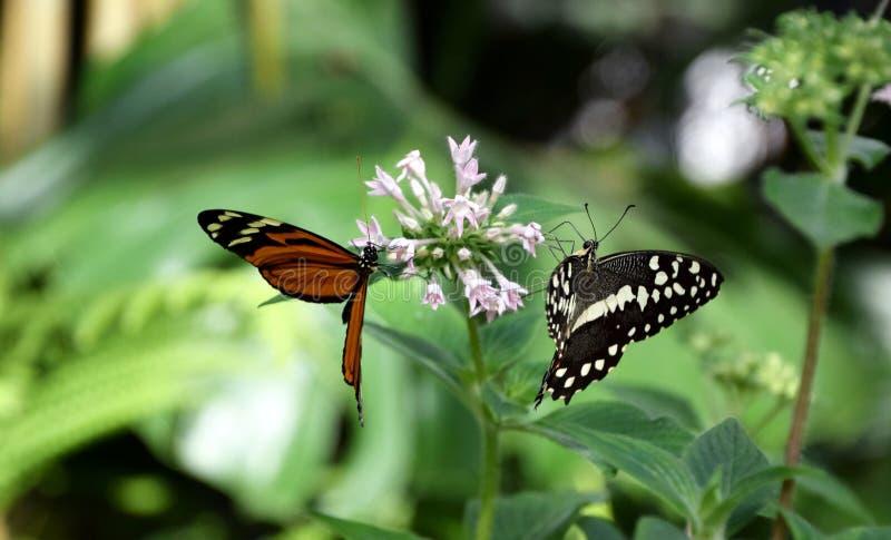Due farfalle sul fiore tropicale, becale di heliconius, farfalla di demoleus di Papilio fotografia stock