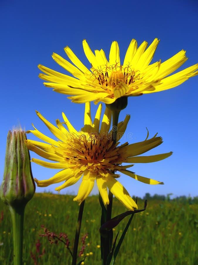 Due fiori immagini stock libere da diritti