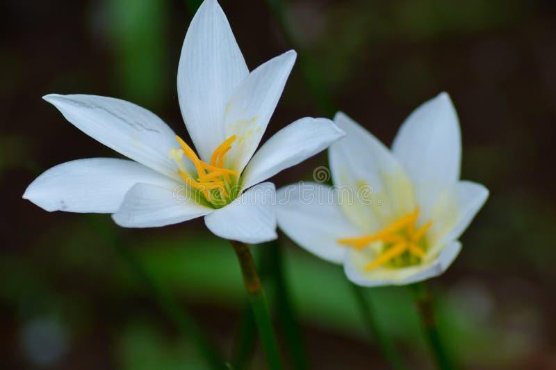 Due fiori fotografia stock