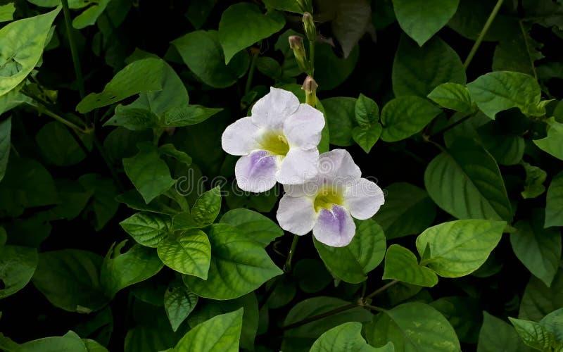 Due fiori immagini stock
