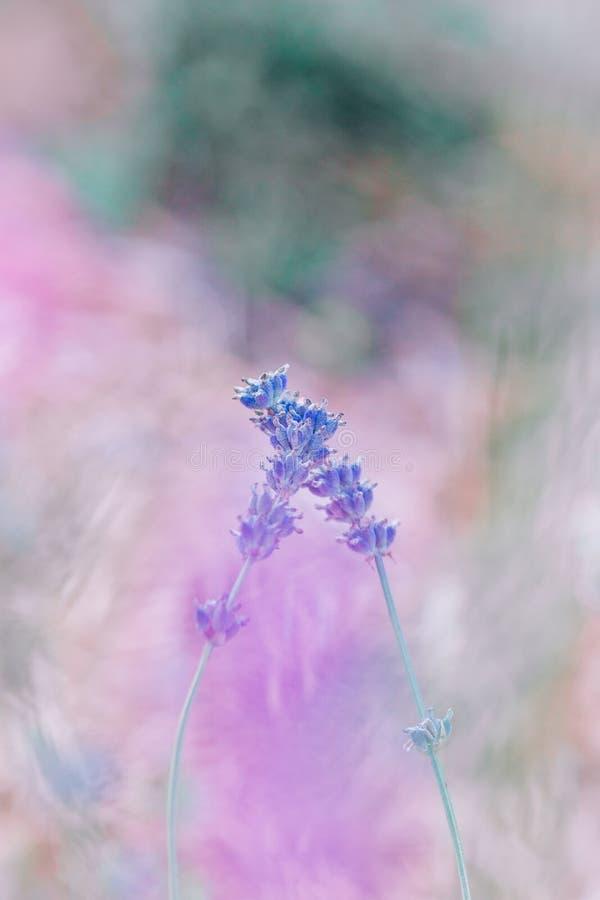Due fiori abbraccianti blu della bella viola porpora variopinta piccoli con i gambi lunghi verdi sul bokeh rosa confuso del fondo immagini stock