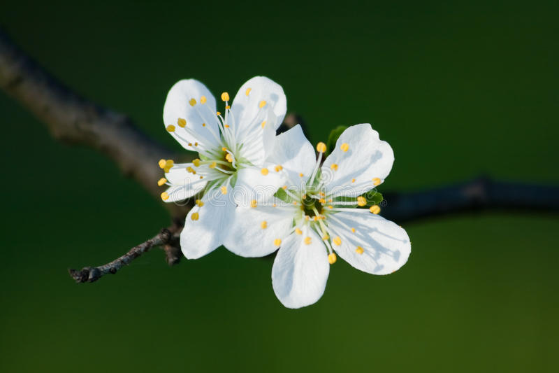 Due fiori bianchi fotografie stock libere da diritti