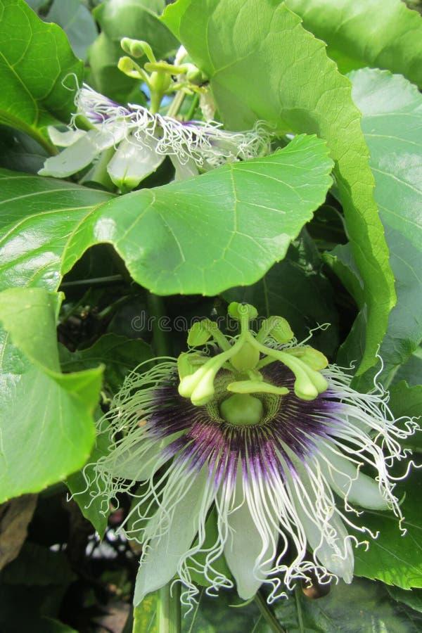 Due fiori del frutto della passione immagini stock libere da diritti