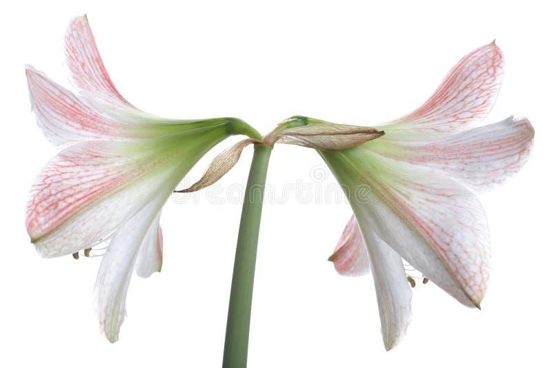 Due fiori del giglio bianco immagine stock libera da diritti