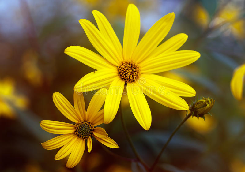 Due fiori del topinambur fotografie stock