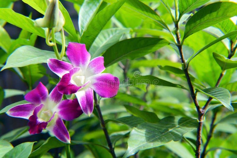 Due fiori dell'orchidea immagini stock