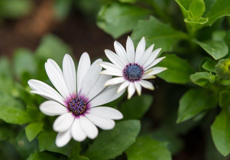 Fiori della margherita bianca fotografie stock libere da diritti
