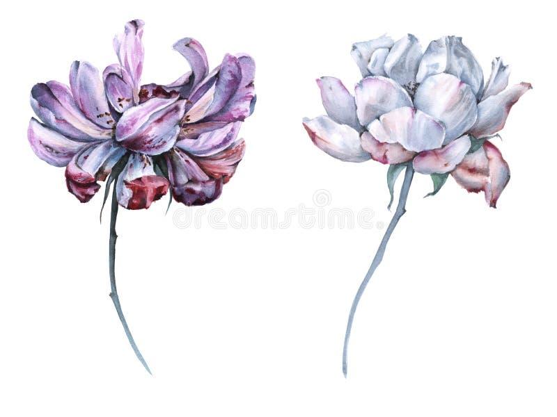 Due fiori di un tè sono aumentato Isolato su priorità bassa bianca illustrazione vettoriale