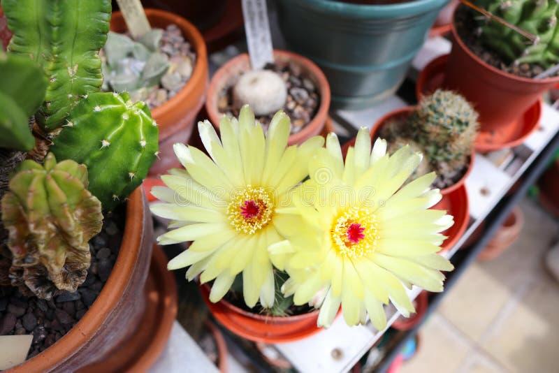 Due fiori gialli del cactus che fioriscono una serra fotografie stock