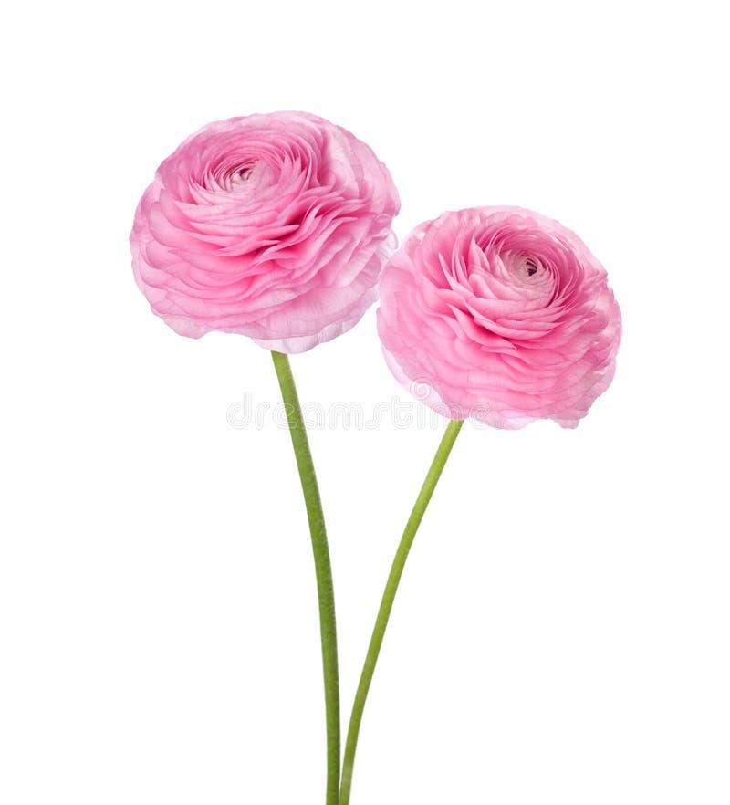 Due fiori persiani rosa-chiaro del ranuncolo fotografia stock