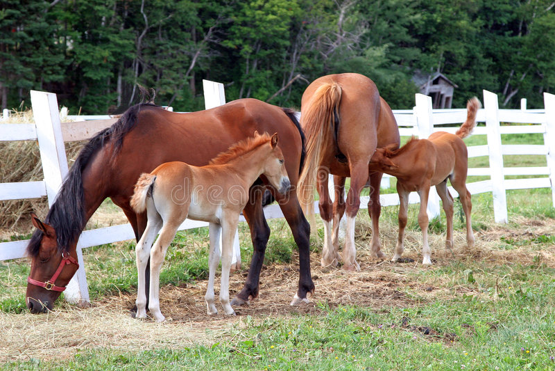 Due Foals e cavalle fotografie stock