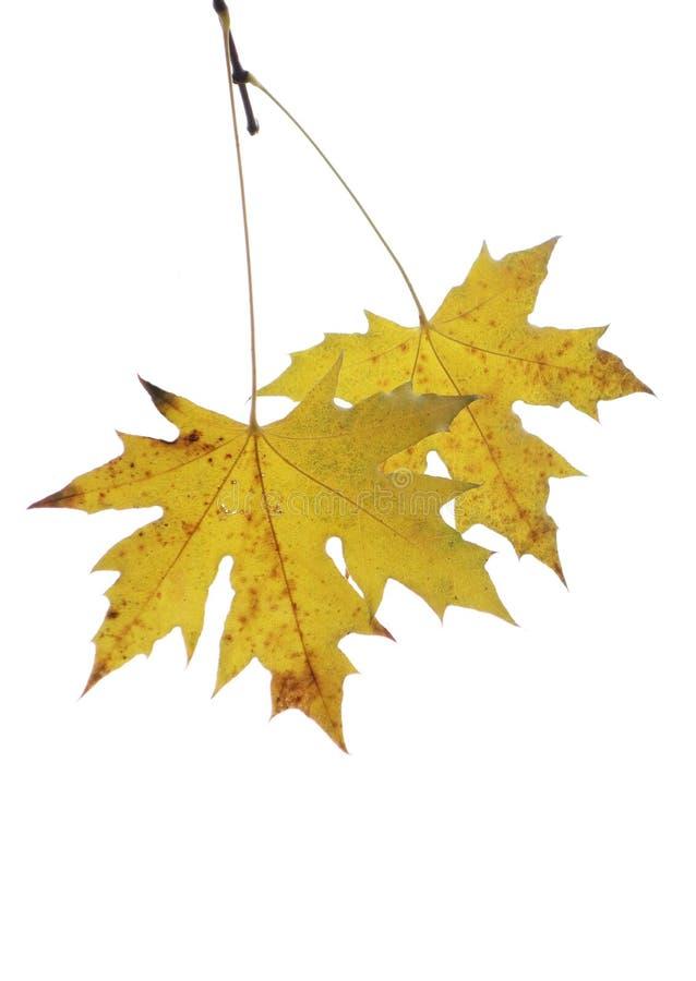 Due foglie dell'albero del parasole immagine stock libera da diritti