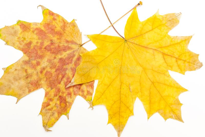 Due foglie di acero immagine stock libera da diritti