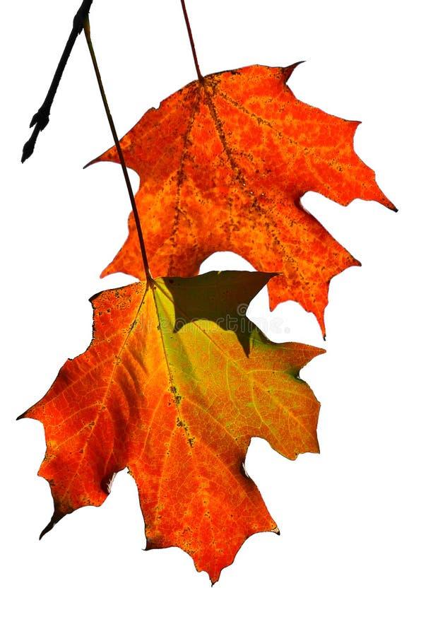 Due foglie di acero fotografia stock
