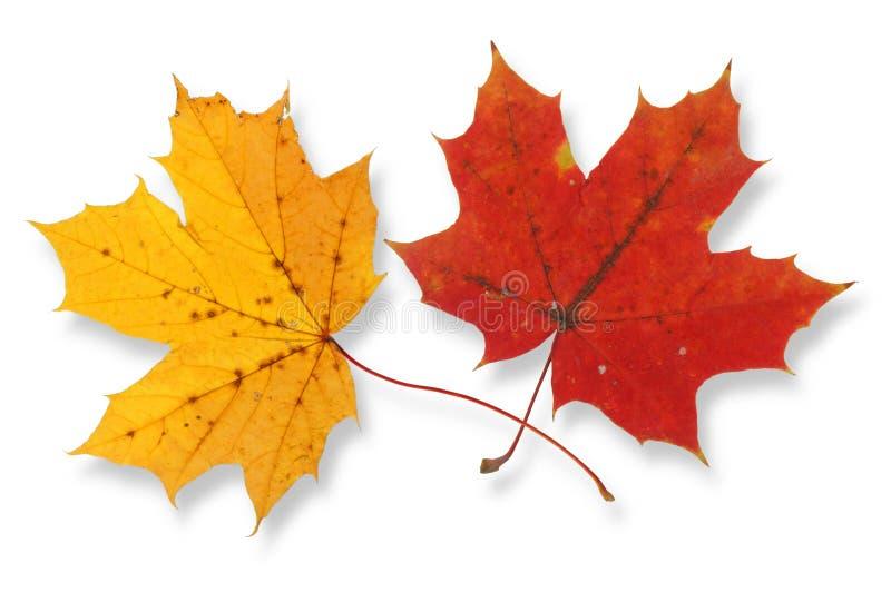 Due foglie di acero immagini stock libere da diritti