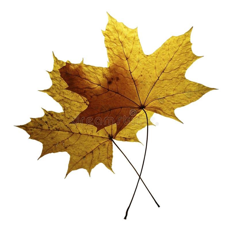 Due foglie di acero asciutte di autunno isolate su fondo bianco immagini stock libere da diritti