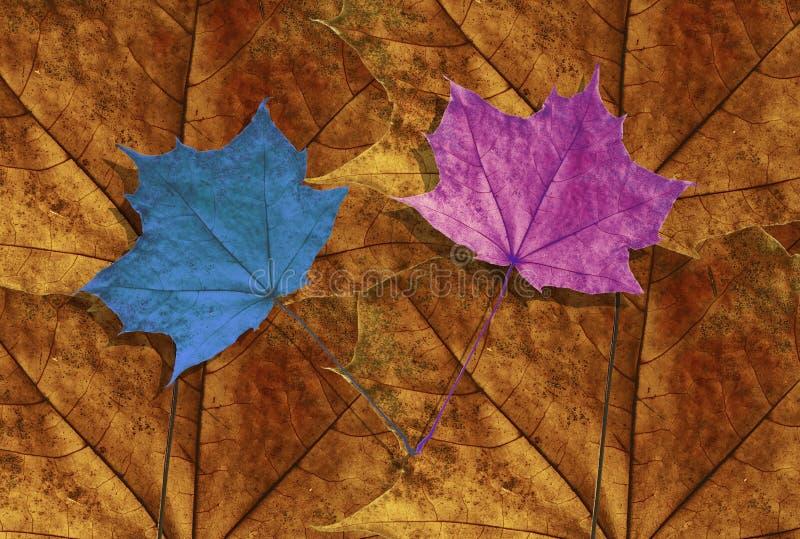 Due foglie di acero blu e rosa sul fondo arancio di autunno dell'acero fotografia stock libera da diritti