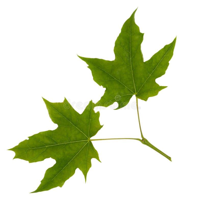 Due foglie di acero isolate immagine stock libera da diritti