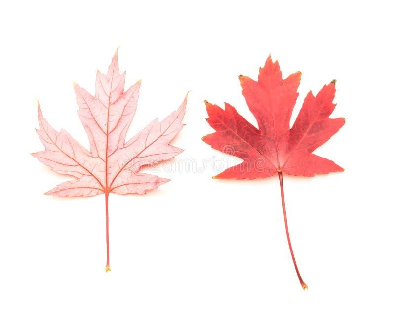 Due foglie di acero rosse luminose di vista superiore isolate su bianco immagini stock