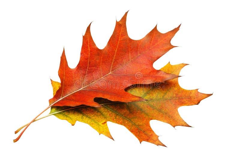Due foglie di autunno di un acero con le belle tonalità isolate fotografie stock libere da diritti