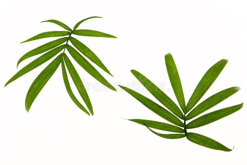 Due foglie tropicali immagine stock