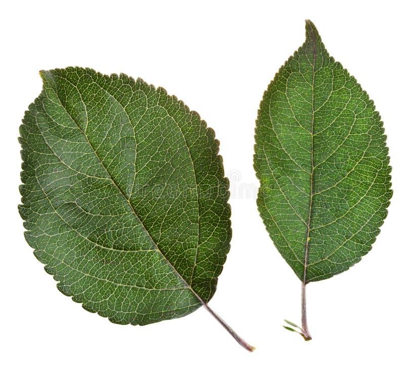 Due foglie verde mela fotografia stock libera da diritti