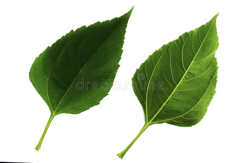 Due foglie verdi del topinambur isolate da fondo bianco, dal lato superiore e pi? basso della foglia immagine stock