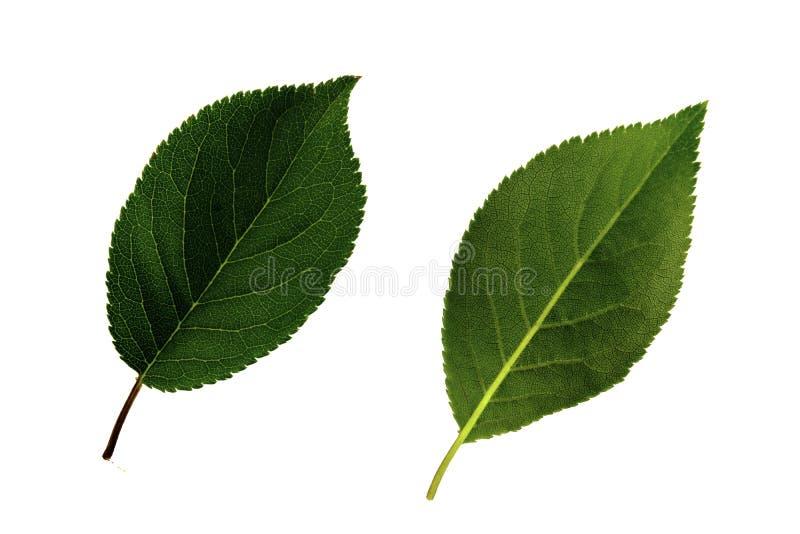 Due foglie verdi della ciliegia susina isolate da un fondo bianco, dal lato pi? basso e superiore della foglia fotografie stock libere da diritti