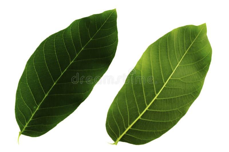 Due foglie verdi della noce isolate dal lato alto e basso bianco del fondo, dello strato fotografia stock libera da diritti