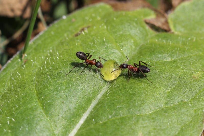 Due formiche bevono da una goccia di rugiada fotografia stock