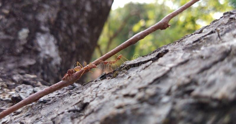 Due formiche che comunicano immagini stock libere da diritti