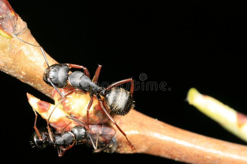 Download Due formiche del legno immagine stock. Immagine di lotta - 3893583