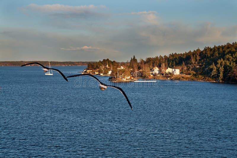 Due gabbiani che sorvolano gli skerries svedesi fotografie stock libere da diritti