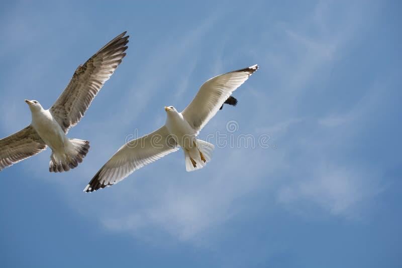Due gabbiani che volano in un cielo fotografia stock