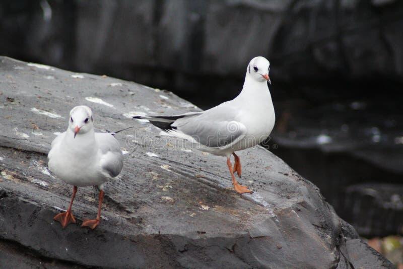 Due gabbiani comuni su roccia fotografia stock