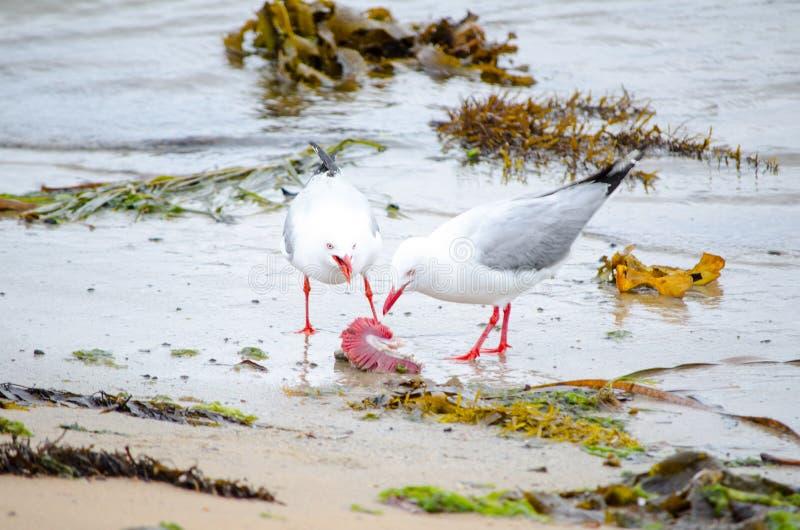 Due gabbiani d'argento che mangiano una certa vita morta dall'oceano sulla spiaggia sporca fotografia stock libera da diritti