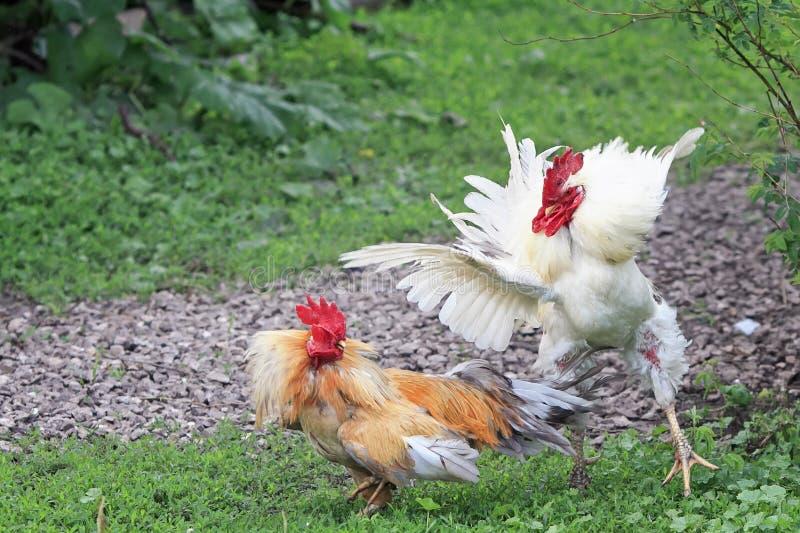 Due galli bianchi e rossi stanno andando combattere le ali fluffed immagini stock libere da diritti
