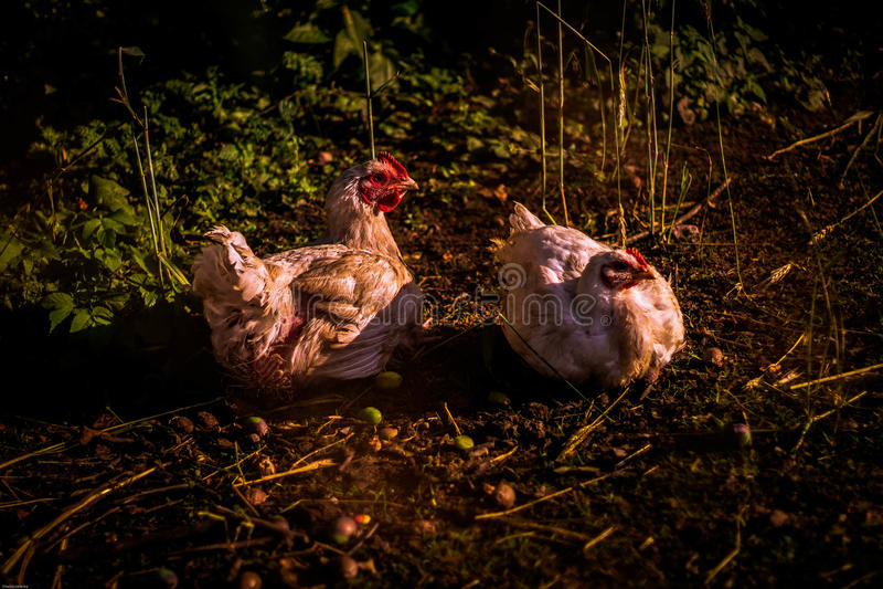 Due galline che fanno le uova immagini stock libere da diritti