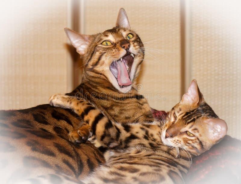Due gatti domestici sonnolenti adorabili svegli del Bengala fotografia stock