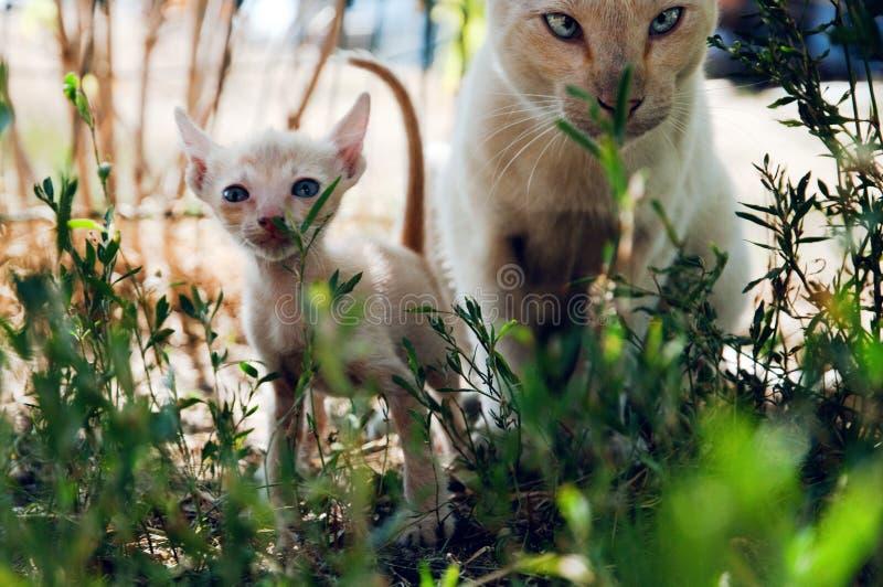 Due gatti grandi e piccolo gioco nell'erba immagini stock libere da diritti