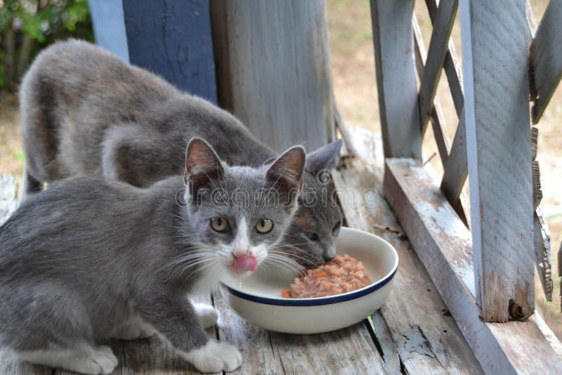 Due gatti selvaggi che mangiano alimento bagnato dal piatto fotografie stock